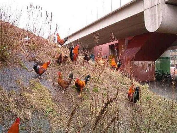 Wil vindt een schare kippen en hanen op weg naar de metro - Alle rechten voorbehouden