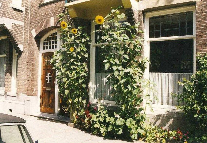 Prachtige zonnebloemen in de 'voortuin'.  Foto: Jo Haen Alle rechten voorbehouden